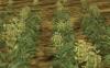Spring Barley Field